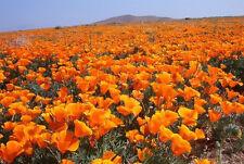 1000 Orange California Poppy Eschscholzia Californica Flower Seeds + Free Gift