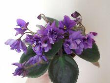 Imp's Billowing Cloak 2 Blätter/2 leaves African Violet Usambaraveilchen