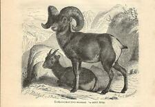 Stampa antica PECORA DELLE MONTAGNE ROCCIOSE BIGHORN SHEEP 1891 Antique print
