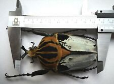 Beautiful Goliathus cacicus 86mm Cetoniinae pearlescent elytra A1