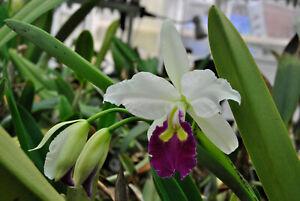 Orchidee Cattleya- C.warscewiczii semi alba BLÜHSTARK  tolle Pflanze Species