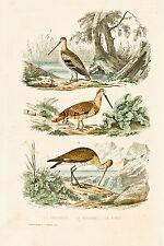 "D'Orbigny's Birds - ""LA BECASSINE & LA BARGE"" - Hand Colored Engraving - 1867"