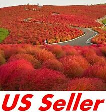 200 Pcs Seeds Burning Bush G61, Stunning Red Garden Color in Fall
