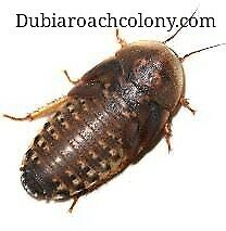 50ct Large Dubia Roaches