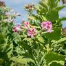 Pflanzen Samen Terrasse Balkon Garten Exoten Sämereien Virginia-Tabak