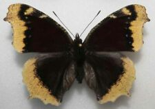 Nymphalis antiopa male aberration  from PL - (mounted)