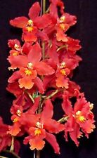 "ONCIDIUM SPACE MINE 'RED RENDEZVOUS' RED BLOOMING ORCHID, SHIPPED IN 3"" POT"