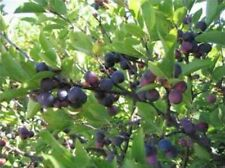 Beach Plum (Prunus maritima) 10 seeds