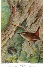 VINTAGE BRITISH MUSEUM postcard:  WREN BIRD C86