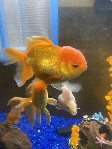 Beautiful Thai Oranda Red About 10 inches live freshwater aquarium