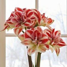 Amaryllis Amaryllises flower 1psc bulb Amaryllis (Hippeastrum) Bright Nymph