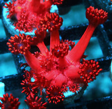 Ultra Red Long Polyp Goni Goniopora Zoanthids Zoa Paly Soft Corals Wysiwyg