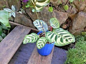 Calathea Makoyana  - Tropical Foliage Plant