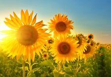 XXL Poster 100 x 70cm (S-841) Sonnenblumen im strahlenden Sonnenschein