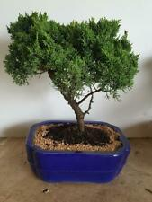 Juniper Large bonsai tree in 10 or 12 inch pot 13yrs old.