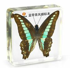 Real Bluebottle Swallowtail Butterfly Paperweight Insect Specimen Taxidermy