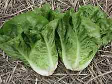"""Lettuce Seeds """"Green Cos"""" (Approx 300 Seeds) Excellent Variety"""