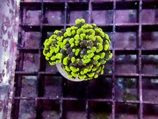 Indo Neon Splatter Branch Hammer -Wysiwyg Live Coral Frag- Coral Savers