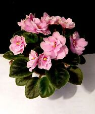 African Violet Dolores Sugar Candy Starter Plant Mini So Cute!
