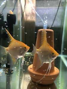 Angelfish Breeding Pair Freshwater Tropical , Gold  (female) And Gold ( Male)