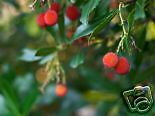 Arbutus unedo STRAWBERRY TREE Seeds!