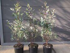 Eucalyptus gunnii - Mostgummi-Eukalyptus - Pflanze 60-80cm - Frosthart