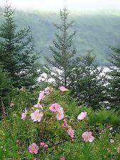 15 Pink Wood'S Rose Bush Mountain Rose Rosa Woodsii Fragrant Flower Seeds + Gift