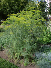5g (app. 4000) dill seeds MAMMOTH heirloom Very fragrant and bushy Old fashioned