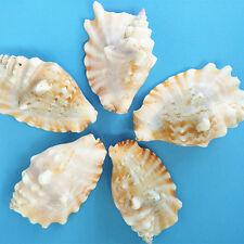 Natural Beautiful top rare real sea Shell Conch aquarium YBK052