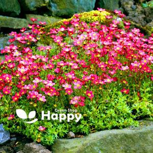 SAXIFRAGE ROSE ROBE - Saxifraga arendsii - 1000 SEEDS - Rockery perennial flower