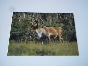 Labrador Canada postcard - caribou. Unused (not postally used).