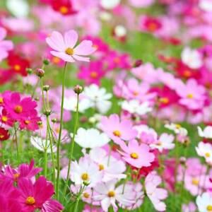 Cosmos Bipinnatus 'Sensation Mixed' 150 Seeds Half-Hardy Annual, Superb Colour