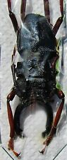 S. American Longhorn Beetle Prionocalus cacicus Male 55mm  FAST SHIP FROM USA