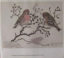 BEAUTIFUL VINTAGE BIRD PRINT ~ REDPOLLS MALE & FEMALE ~ TUNNICLIFFE