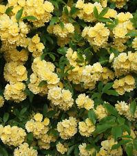 Climbing Yellow Rose Rosa Multiflora Perennial Fragrant Flower - 10 seeds pack