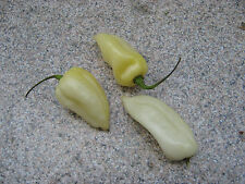 Fatalii Weiss / white 1000 Samen  Fatali Chili Chilisamen BULK Seeds Chiliseeds
