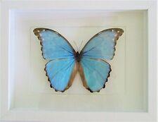 Morpho godarti Butterfly in a White Frame