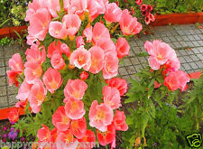 GODETIA GRAND AZALEAFLORA - SYBIL SHERWOOD - 1600 seeds - SALMON DOUBLE FLOWERED