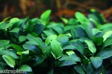 Anubias Nana Petite Loose Rhizome 8+ Leaves Live Aquarium Plants BUY2GET1FREE*