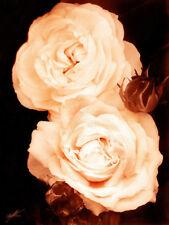 """Flora Collection - Boule de Neige - 18"""" x 24"""" Canvas Art Poster"""
