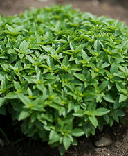 2400 Seeds of Basil Greek / Minette / Very Aromatic / Grass Aromatic
