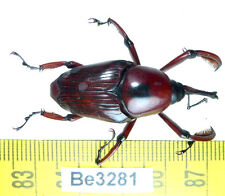 Be(3281) Curculionidae Weevil Beetle Real Insect Vietnam