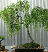 Weeping tea tree! RARE! Hardy!!! Ideal indoor or outdoor bonsai! Fresh seeds!