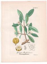 Antique Botanical Print Garcinia Morella Artus-Kirchner-1876