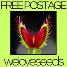 LOCAL AUSSIE STOCK - Dionaea Muscipula, Giant Venus Flytrap, Plant Seeds ~20x