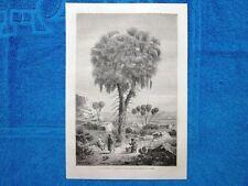 Gravure Année 1865 - Le doum (palmier) - La palma