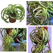 "Bonnie Curly Spider Plant Easy Cleans Air 4"" Pot Indoor Houseplant Best Gift NEW"