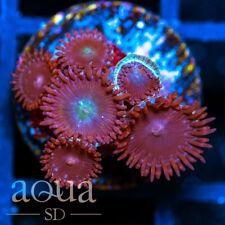 New listing Asd - 024 Ninja Time Zoanthids - Wysiwyg - Aqua Sd Live Coral Frag