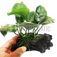 Anubias Barteri Wide Leaf on Driftwood Freshwater Live Aquarium Plant Nana Root
