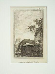 Yellow Weasel - Buffon Mounted Antique Print c.1805 Victorian Engraving